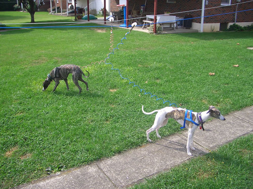 Whippets!