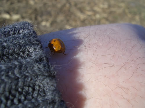 This ladybug landed on me